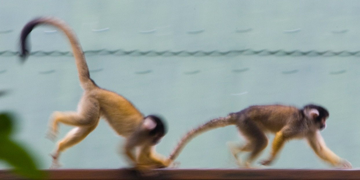 A pair of long-tailed monkeys run through the Monkeyland sanctuary