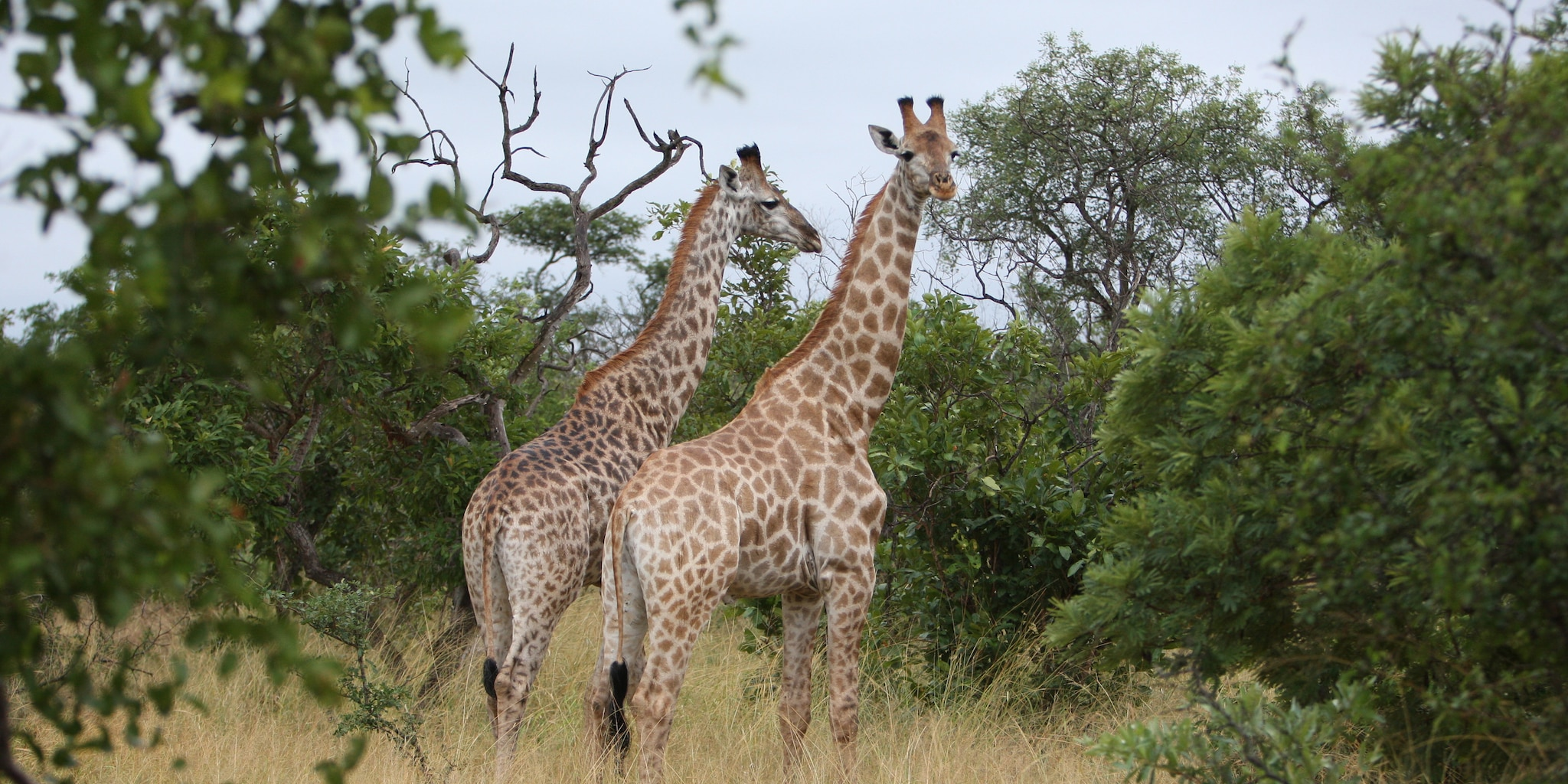 Two giraffes stand amidst the bush of South Africa's Big Five Country