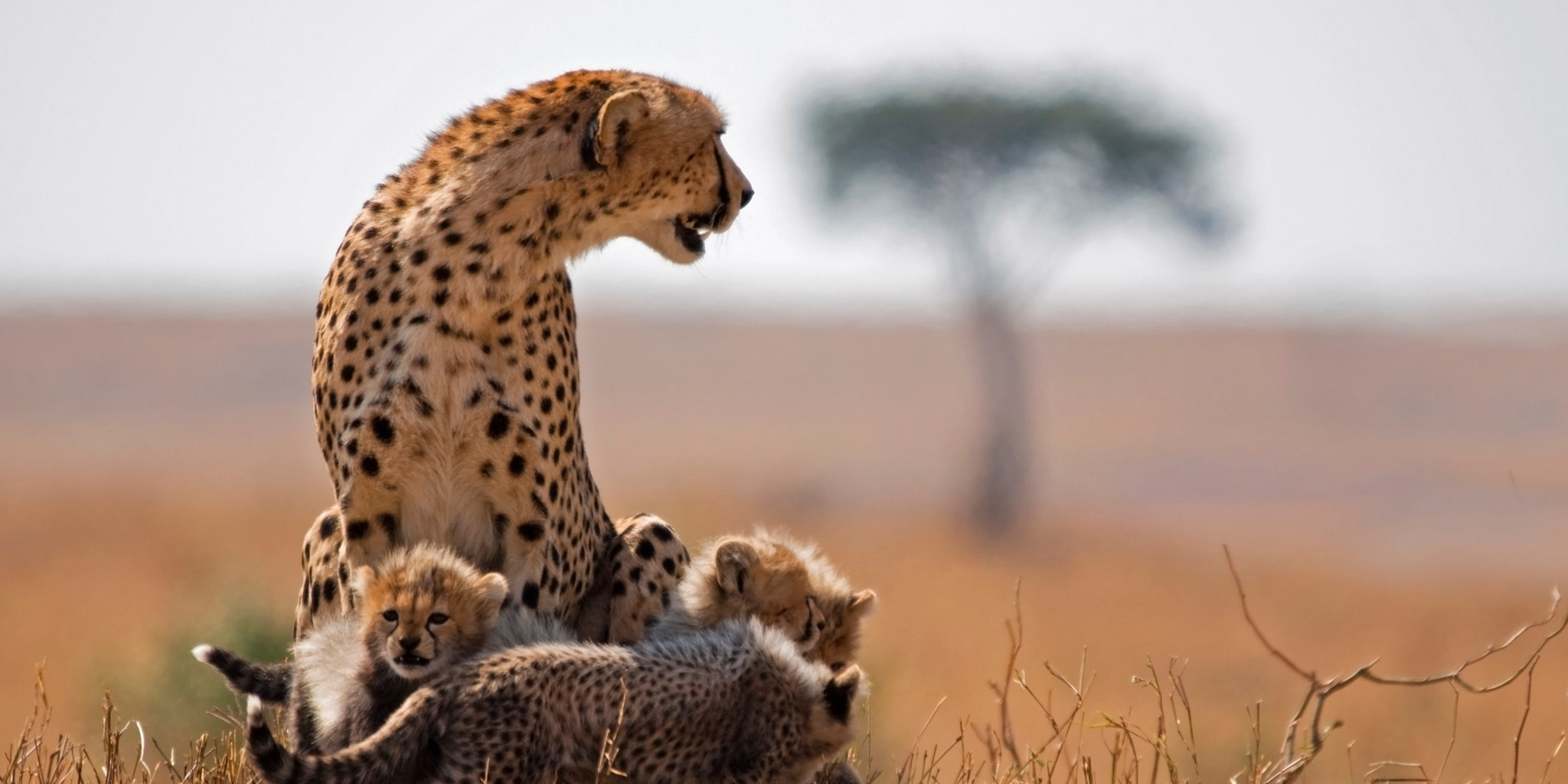 A mother leopard watches over her cubs on the South African bush
