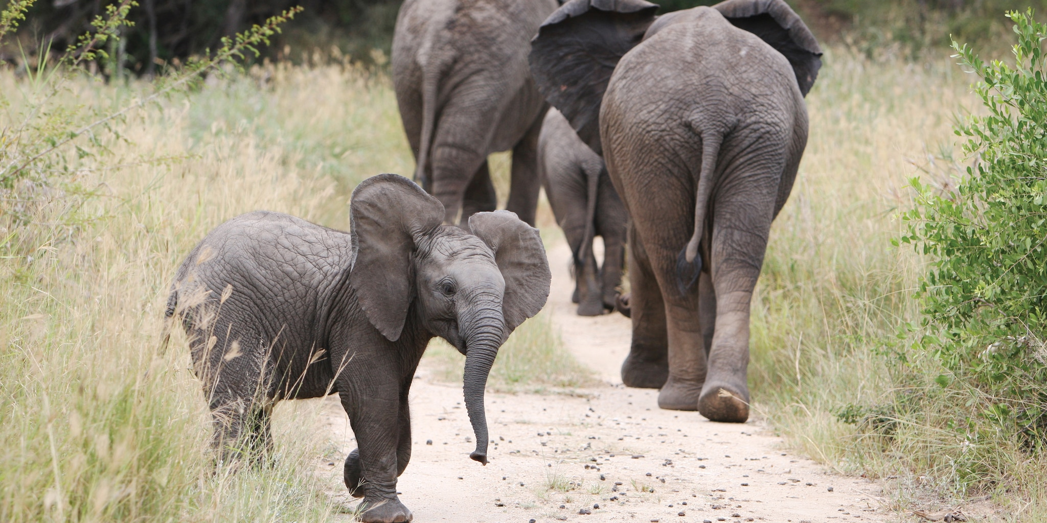 A baby elephant looks around as the rest of the herd continues along a South African trail