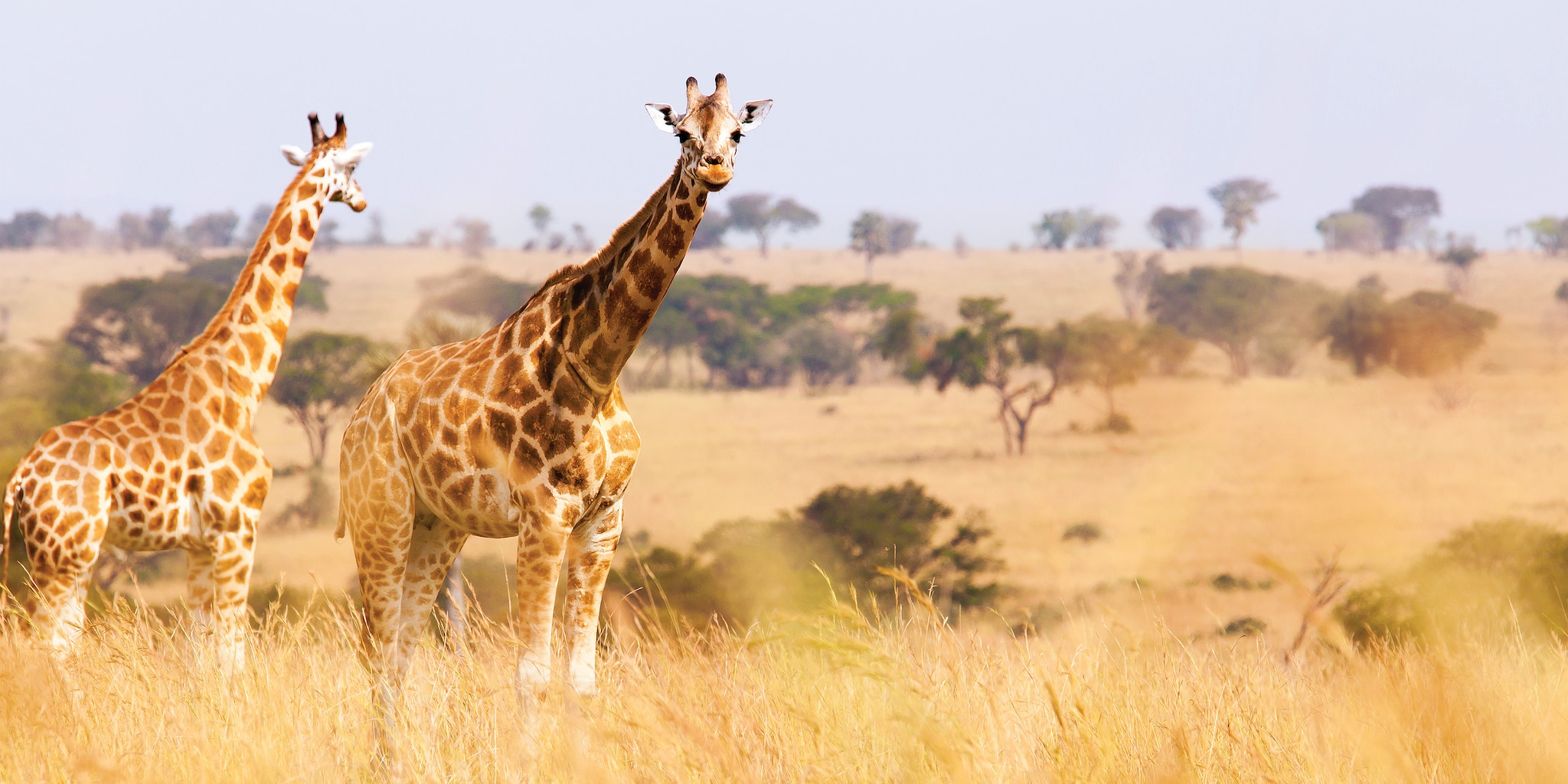 A pair of giraffes look out onto the South African bush