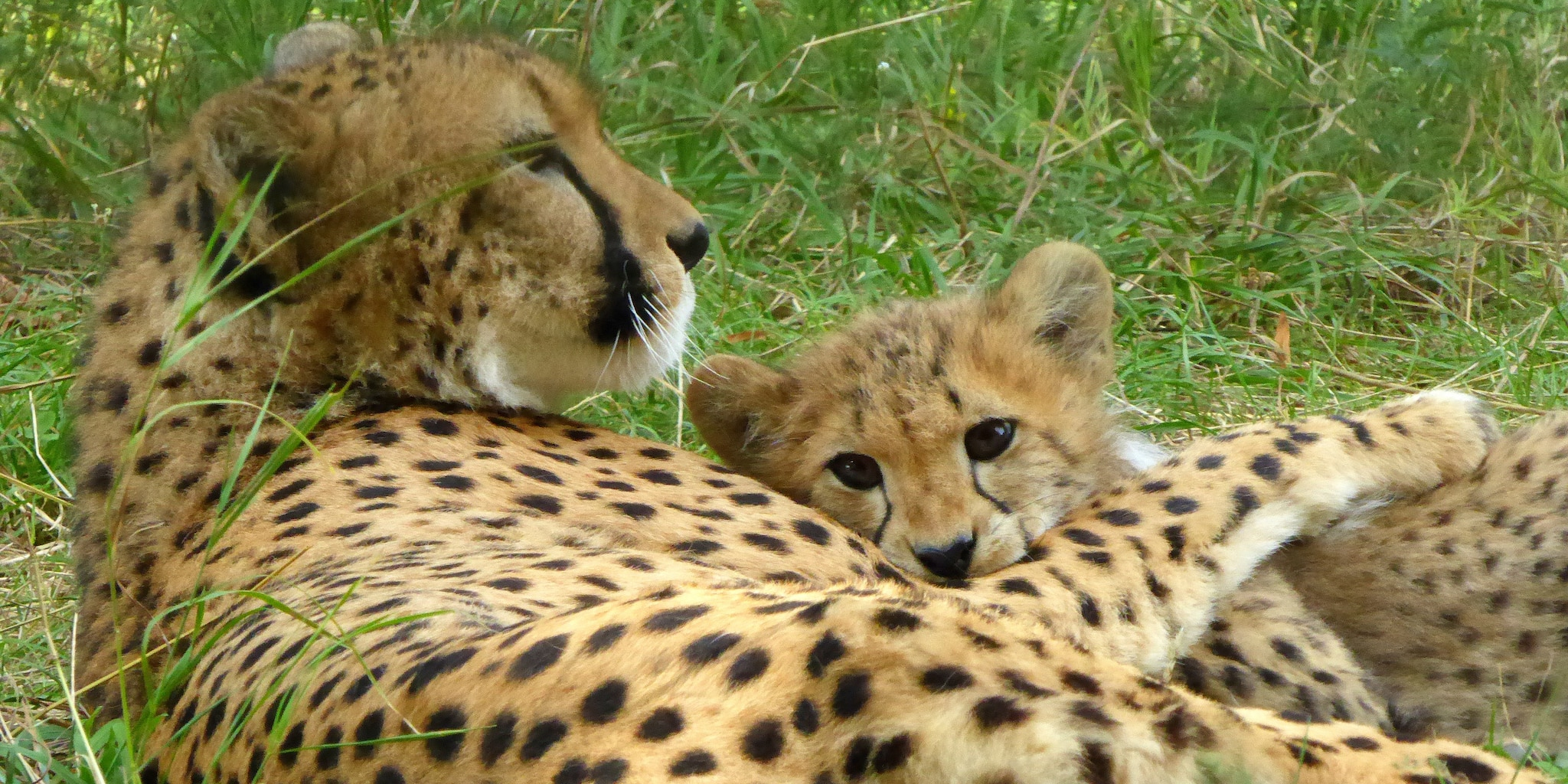 A mother and baby cheetah