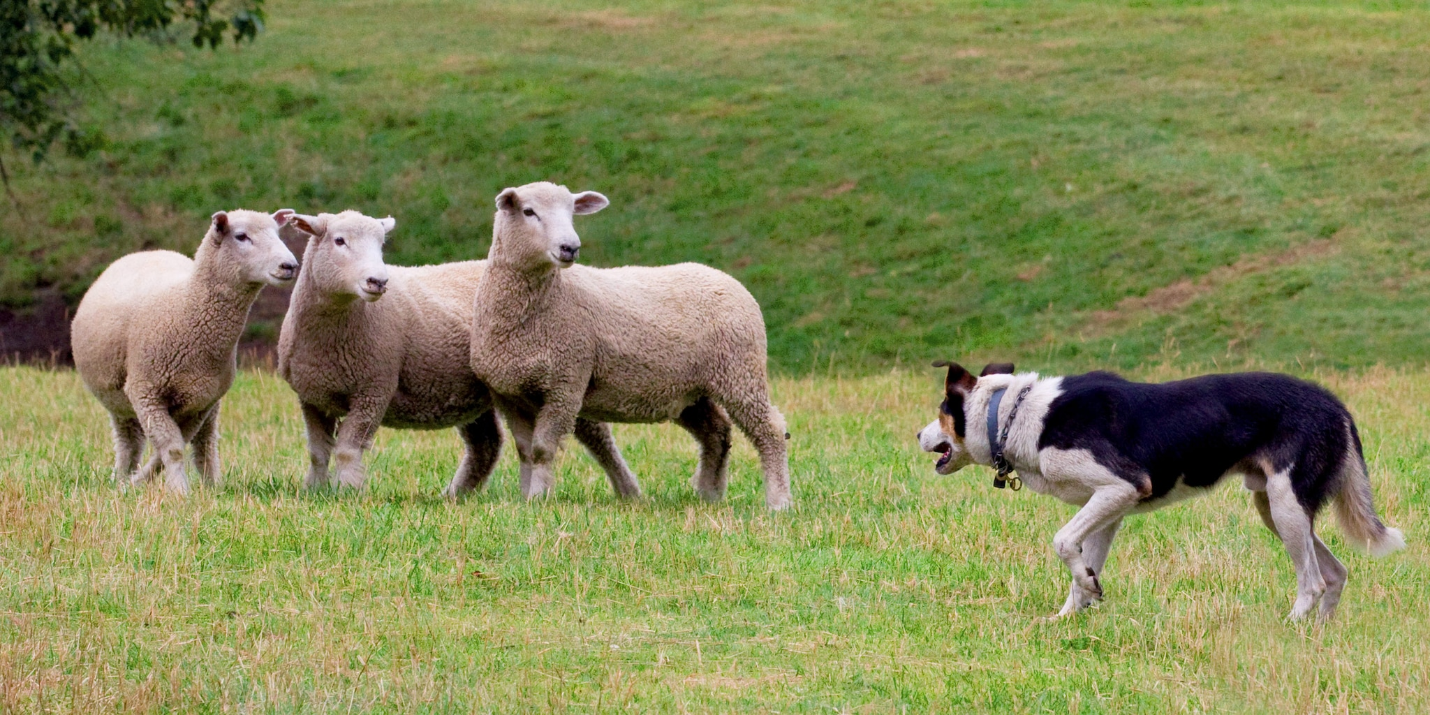 A sheepdog herds 3 sheep