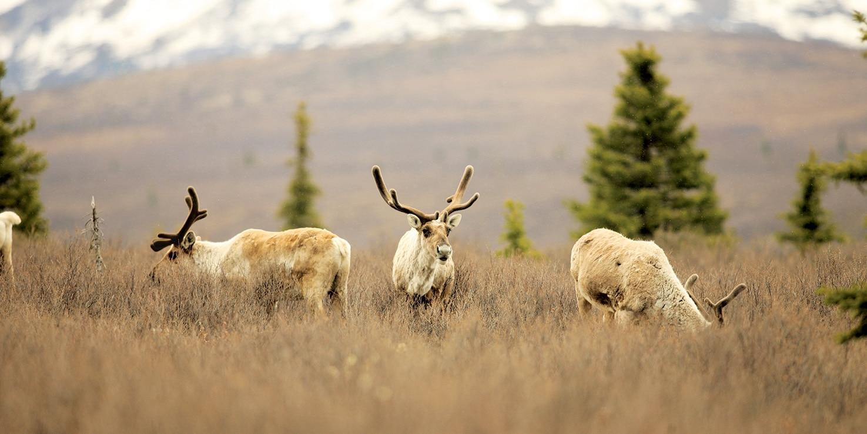 Several caribou graze on the plains