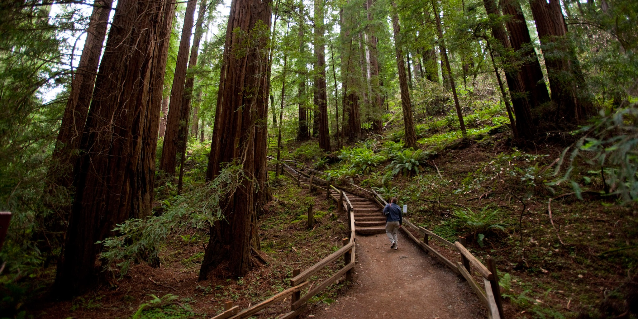 A man walks amongst the giant redwood trees in Muir Woods