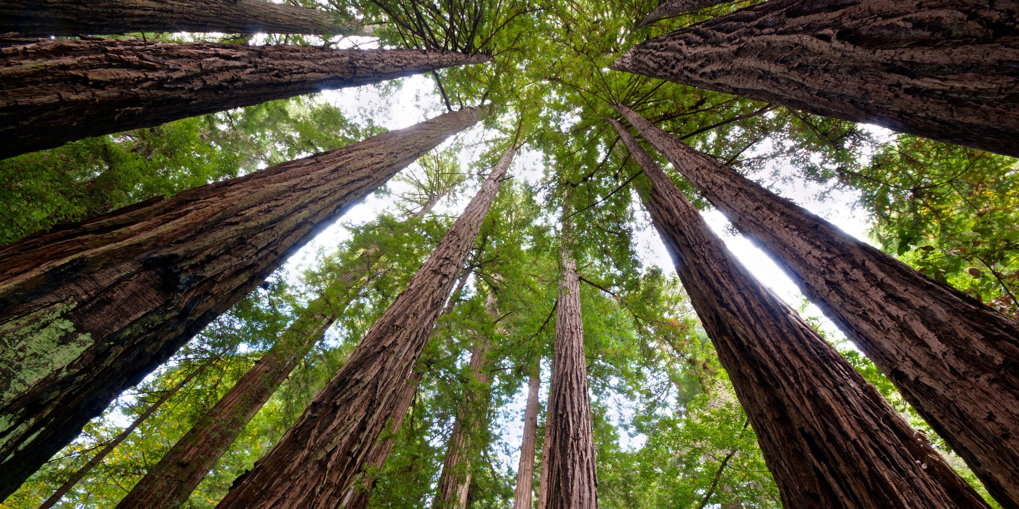 The towering Redwood trees hide the sky at Muir Woods