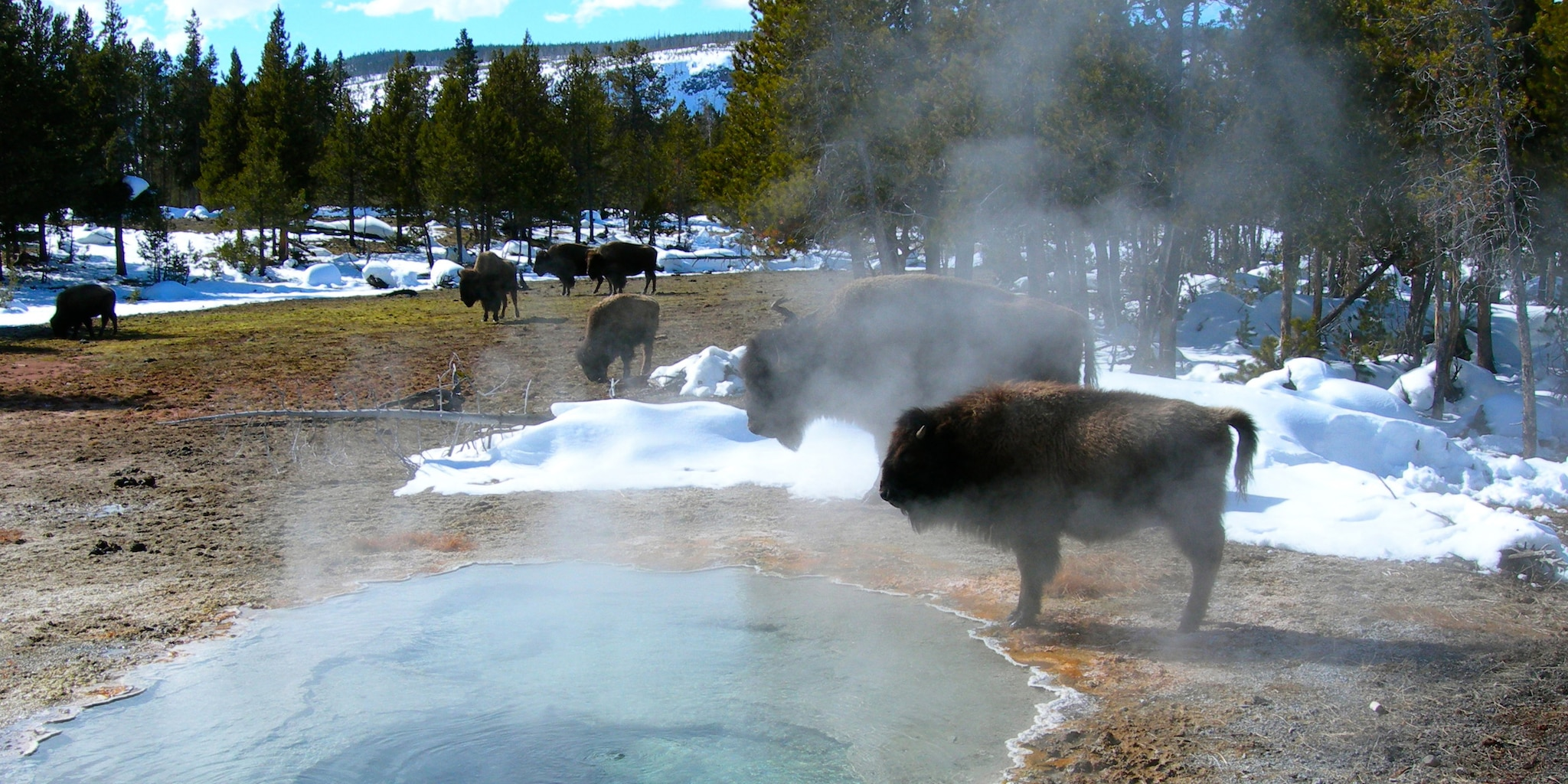 Bison graze near steaming hot springs